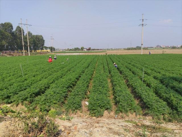 Tính hai mặt của giải cứu nông sản và những hệ lụy với xuất khẩu - 3