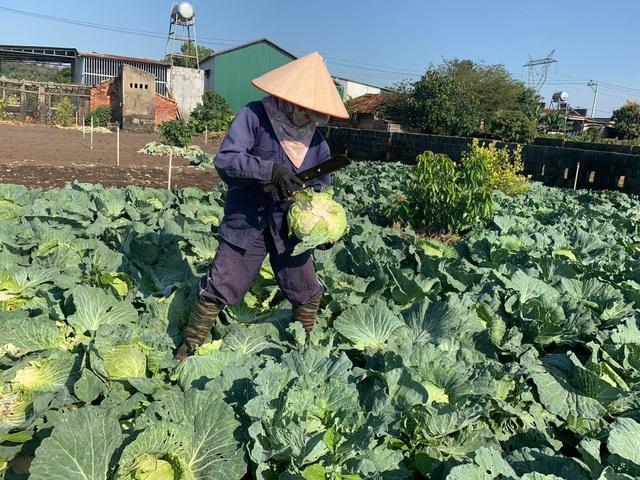 Nông dân vuốt nước mắt đổ hàng trăm tấn rau củ vì không ai mua - 1