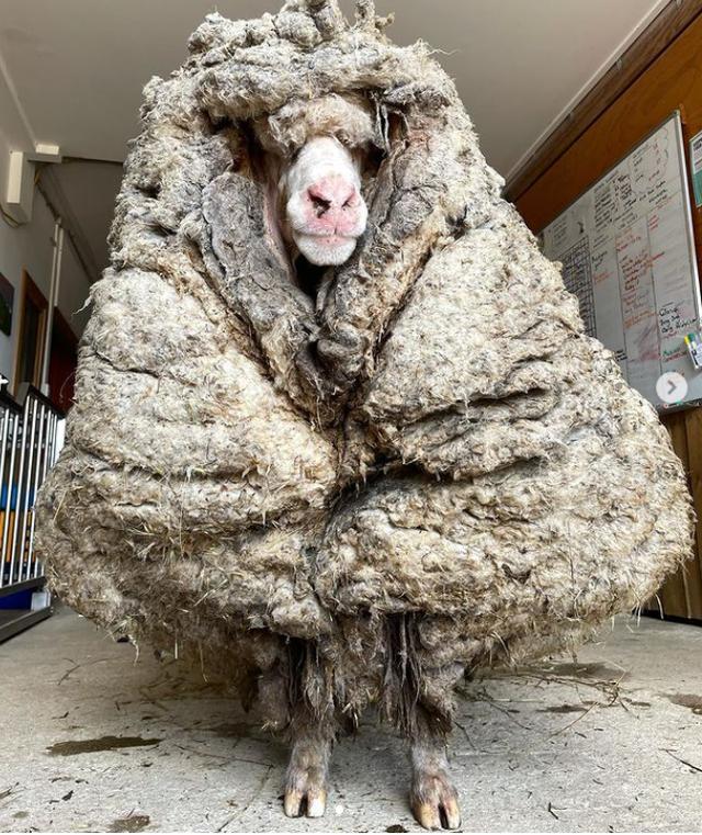Choáng với bộ lông nặng 35 kg của chú cừu hoang dã - 1