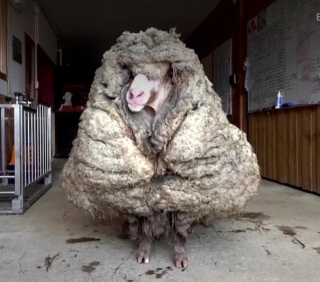 Choáng với bộ lông nặng 35 kg của chú cừu hoang dã - 2