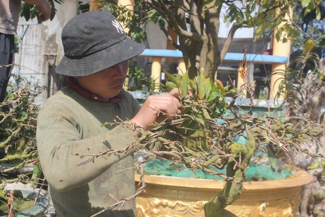 Gia Lai: Người chăm mai cảnh bận rộn với công việc sau Tết - 4