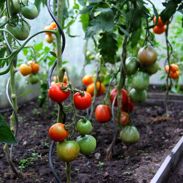 Khu vườn 100 năm tuổi quả gì cũng có của người phụ nữ yêu trồng trọt - 4