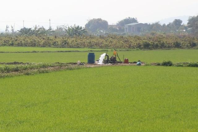 Cả trăm hecta lúa lo chết khát cạnh dự án chống hạn trăm tỷ - 4