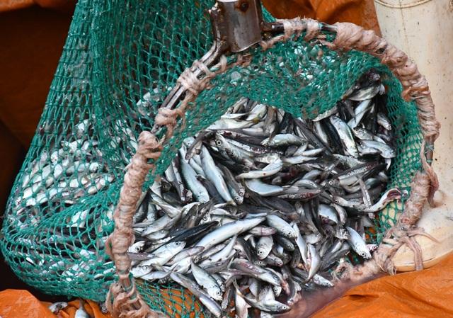 Ngư dân kiếm 3 triệu đồng chỉ sau một đêm ra khơi đánh cá cơm - 4
