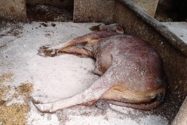 Bệnh lạ ở trâu, bò đang lan rộng khắp Hà Tĩnh - 3