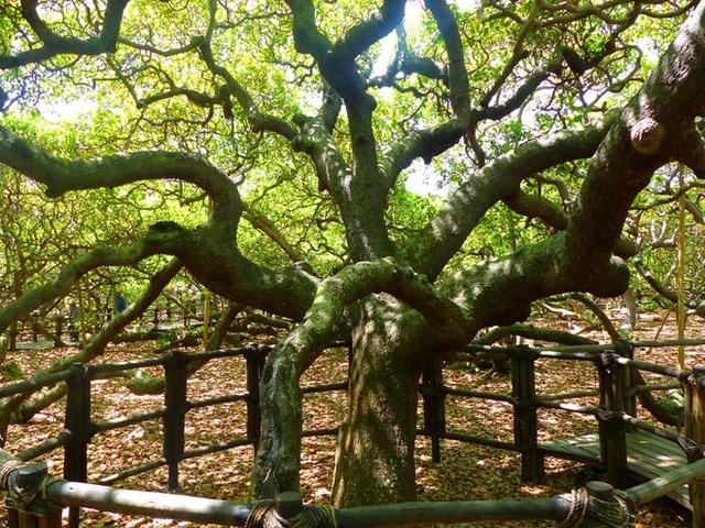 Kỳ lạ cây đào lộn hột lớn nhất thế giới to gấp đôi sân bóng đá - 1