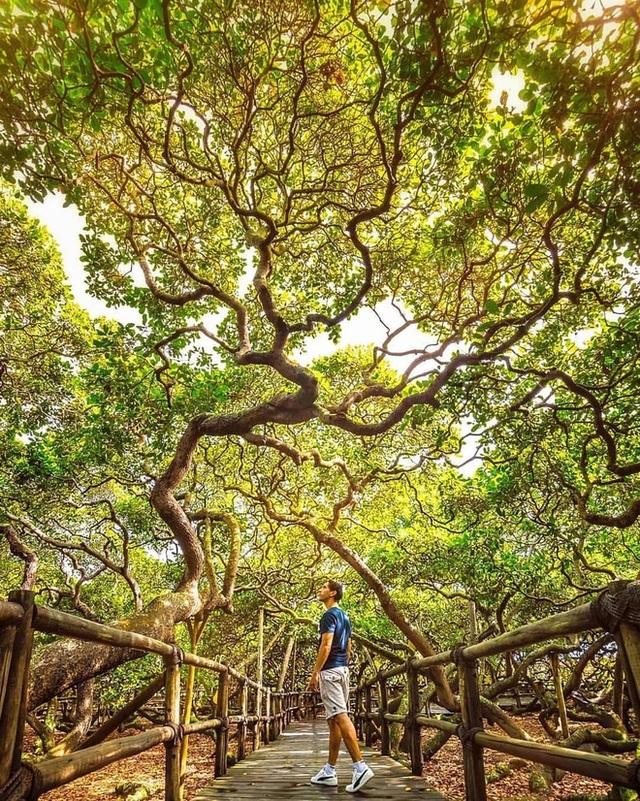 Kỳ lạ cây đào lộn hột lớn nhất thế giới to gấp đôi sân bóng đá - 3