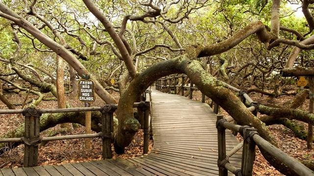 Kỳ lạ cây đào lộn hột lớn nhất thế giới to gấp đôi sân bóng đá - 4