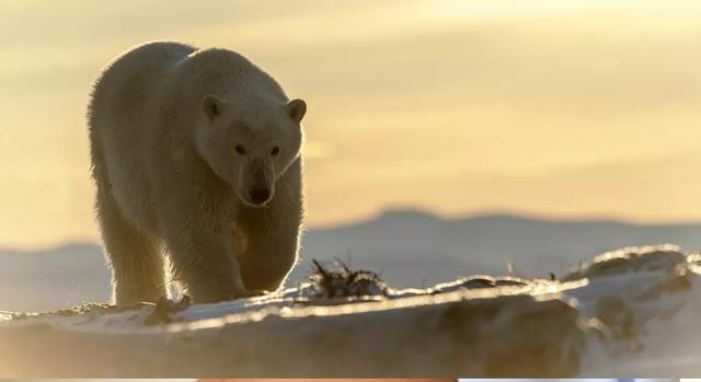 Băng tan khiến gấu trắng Bắc Cực thay đổi chế độ ăn như thế nào? - 1