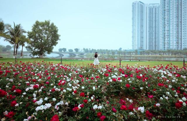 Chiêm ngưỡng vườn hoa hồng khổng lồ khoe sắc giữa khu đô thị xanh Ecopark - 1