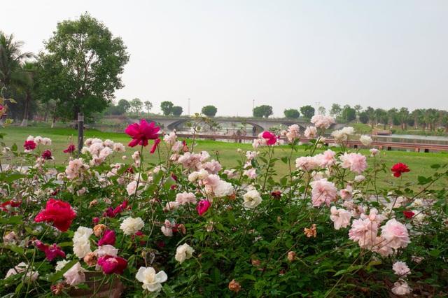 Chiêm ngưỡng vườn hoa hồng khổng lồ khoe sắc giữa khu đô thị xanh Ecopark - 3
