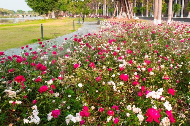 Chiêm ngưỡng vườn hoa hồng khổng lồ khoe sắc giữa khu đô thị xanh Ecopark - 4