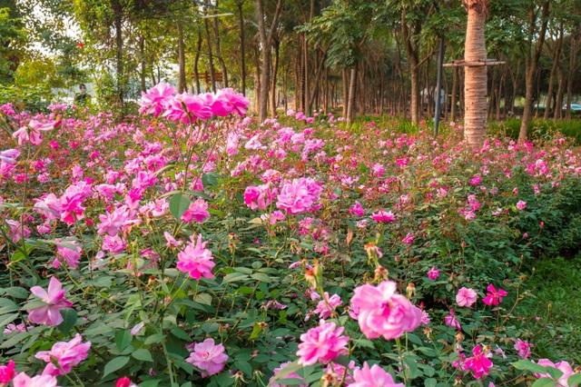 Chiêm ngưỡng vườn hoa hồng khổng lồ khoe sắc giữa khu đô thị xanh Ecopark - 7