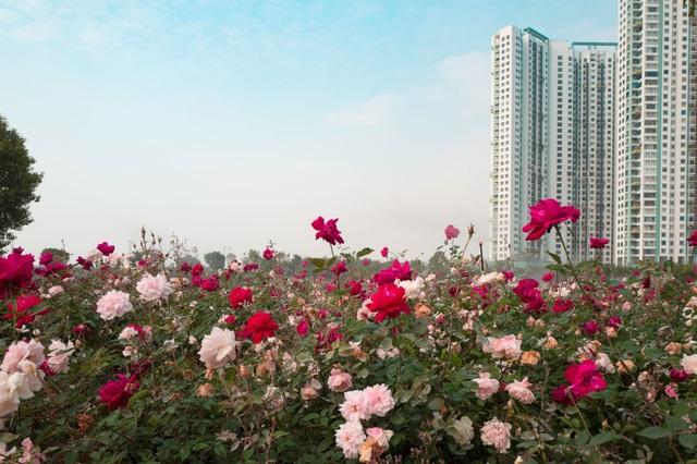 Chiêm ngưỡng vườn hoa hồng khổng lồ khoe sắc giữa khu đô thị xanh Ecopark - 9