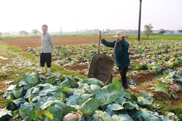 Ông Nguyễn Đức Hạnh đứng buồn rầu bên ruộng bắp cải, chẳng buồn thu hoạch.