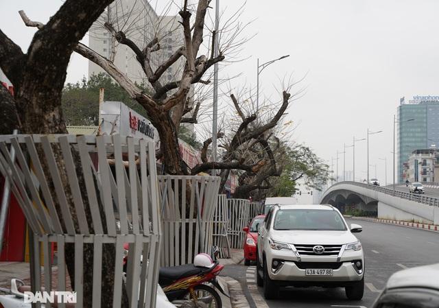 7 cây sưa đỏ quý hiếm trên đường Nguyễn Văn Huyên ở Hà Nội đã chết - 3