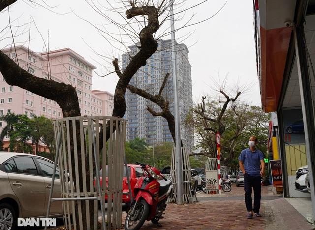 7 cây sưa đỏ quý hiếm trên đường Nguyễn Văn Huyên ở Hà Nội đã chết - 2