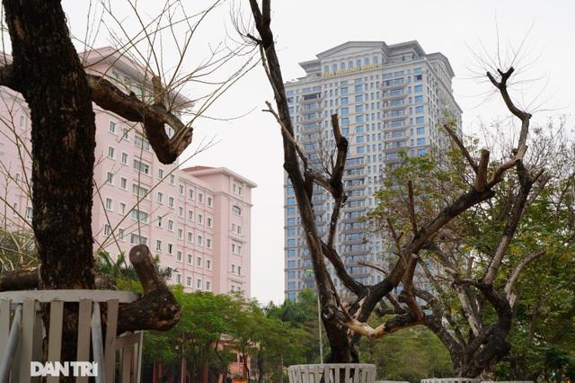 7 cây sưa đỏ quý hiếm trên đường Nguyễn Văn Huyên ở Hà Nội đã chết - 4