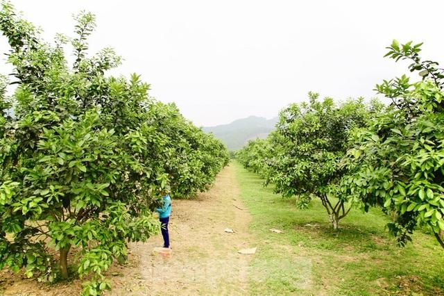 Xem nông dân Hà Tĩnh thụ phấn cho đệ nhất bưởi - 1