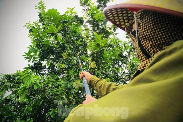Xem nông dân Hà Tĩnh thụ phấn cho đệ nhất bưởi - 12