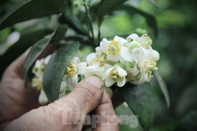 Xem nông dân Hà Tĩnh thụ phấn cho đệ nhất bưởi - 13