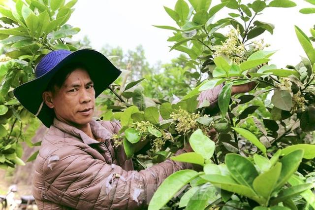 Xem nông dân Hà Tĩnh thụ phấn cho đệ nhất bưởi - 15