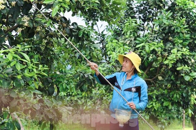 Xem nông dân Hà Tĩnh thụ phấn cho đệ nhất bưởi - 4