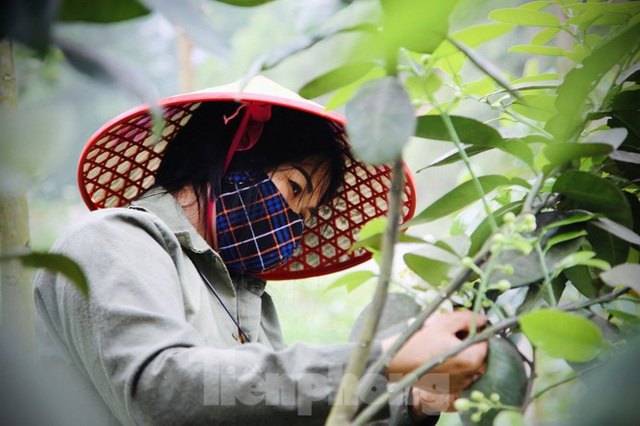 Xem nông dân Hà Tĩnh thụ phấn cho đệ nhất bưởi - 8