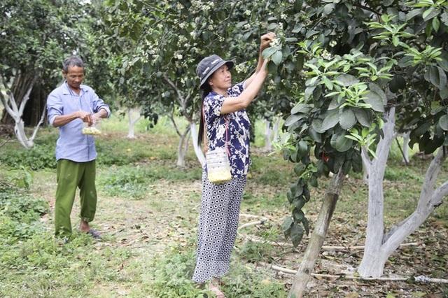Xem nông dân Hà Tĩnh thụ phấn cho đệ nhất bưởi - 9