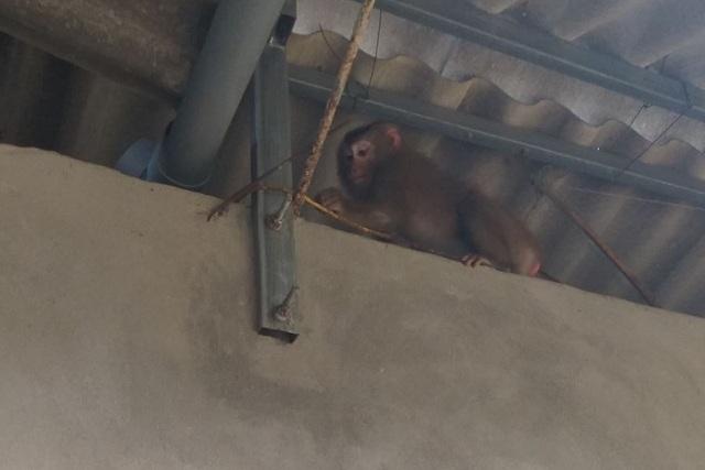 Khỉ vàng đại náo khu dân cư - 1