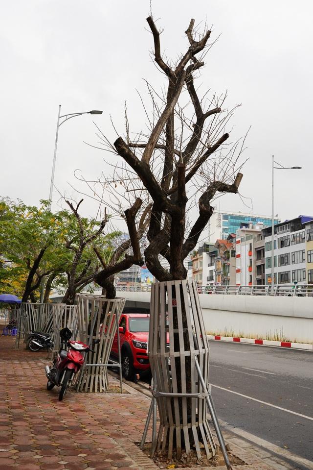 7 cây sưa đỏ quý hiếm trên đường Nguyễn Văn Huyên ở Hà Nội đã chết - 9