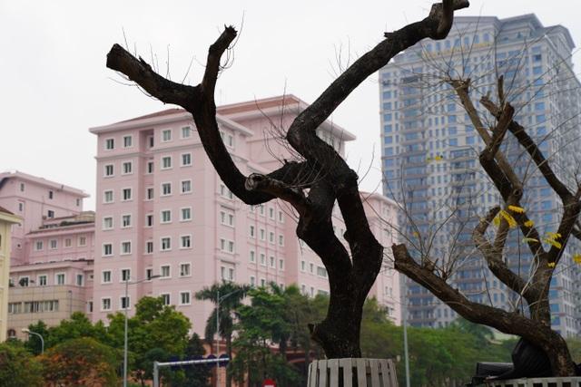 7 cây sưa đỏ quý hiếm trên đường Nguyễn Văn Huyên ở Hà Nội đã chết - 5