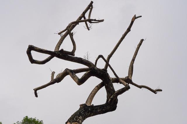 7 cây sưa đỏ quý hiếm trên đường Nguyễn Văn Huyên ở Hà Nội đã chết - 8