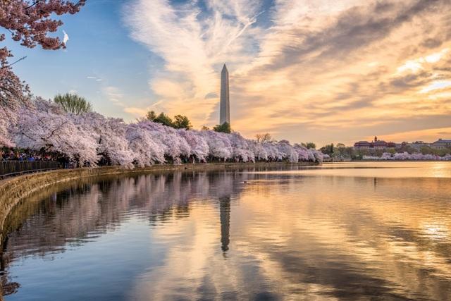Lễ hội hoa anh đào ở Mỹ: Biểu tượng hữu nghị kéo dài một thập kỷ - 1