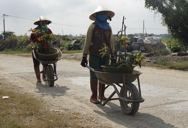 Người làm nghề trồng mai ở Bình Định tất bật tút tát cây sau Tết - 4