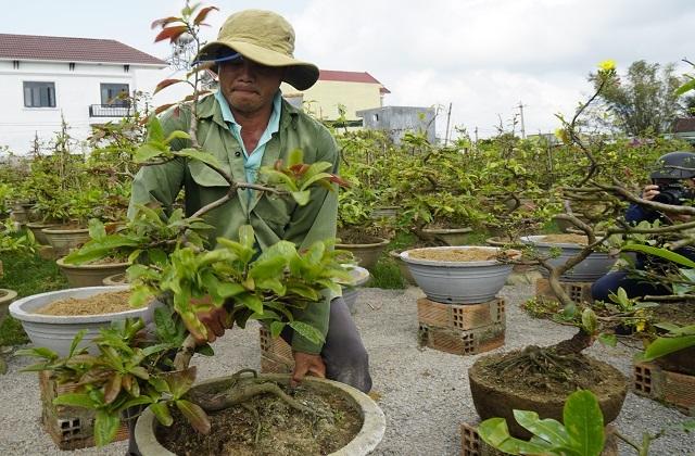 Người làm nghề trồng mai ở Bình Định tất bật tút tát cây sau Tết - 5