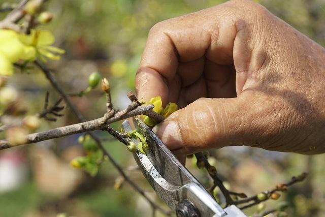 Người làm nghề trồng mai ở Bình Định tất bật tút tát cây sau Tết - 3