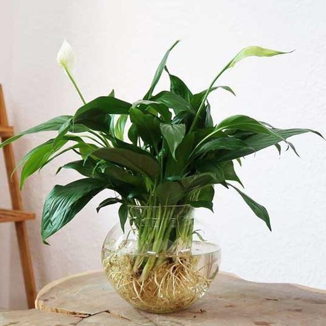 Các loại cây nên trồng trong nhà để hút ẩm không khí khi trời nồm - 4
