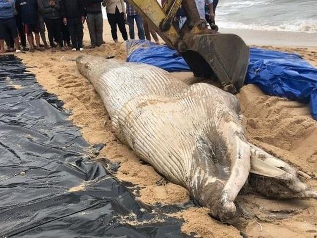 Xác cá voi nặng 1 tấn dạt vào bờ biển Quảng Bình - 1