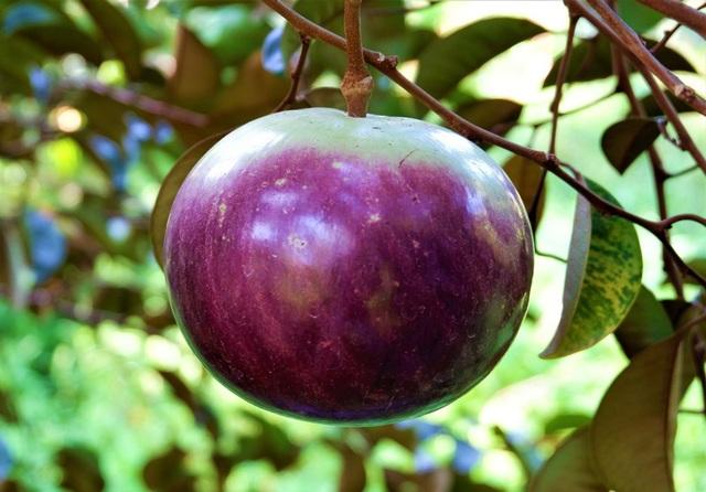 Lão nông Bến Tre thu nhập hơn nửa tỷ đồng/năm nhờ cây giống lạ - 4