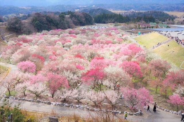 Những lễ hội rực rỡ trong tiết trời giao mùa tháng 3 ở Nhật - 4