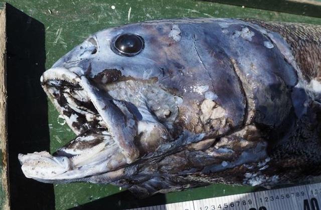 Loài cá săn mồi miệng đầy răng, cân nặng ngang với một đứa trẻ - 3