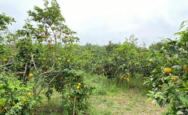 Nước mắt người trồng quýt ở vùng đất đỏ bazan - 5