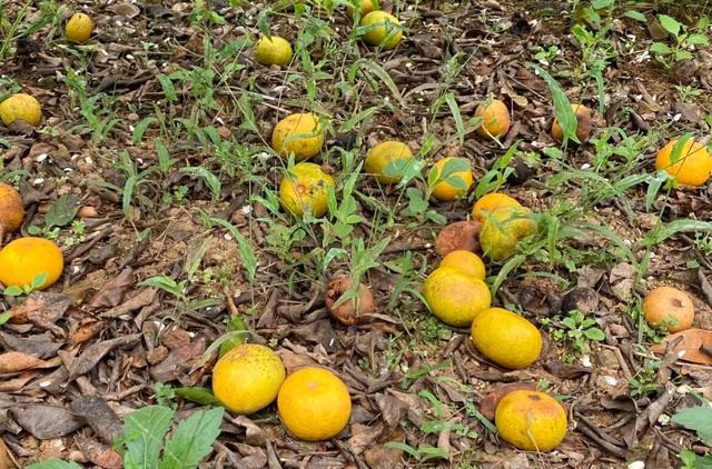 Nước mắt người trồng quýt ở vùng đất đỏ bazan - 4
