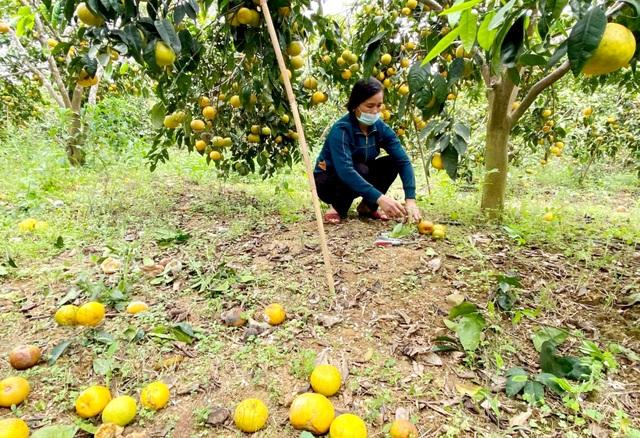 Nước mắt người trồng quýt ở vùng đất đỏ bazan - 3