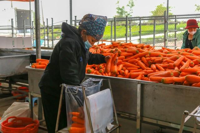 Hải Dương: Cà rốt ra khơi, hàng ngon tăng giá sau lệnh gỡ phong tỏa - 8