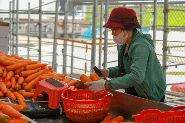 Hải Dương: Cà rốt ra khơi, hàng ngon tăng giá sau lệnh gỡ phong tỏa - 6
