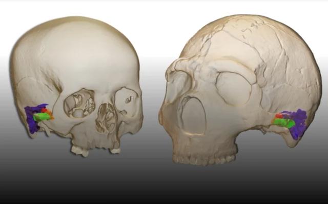Người Neanderthal có thể tạo ra giọng nói giống người? - 1