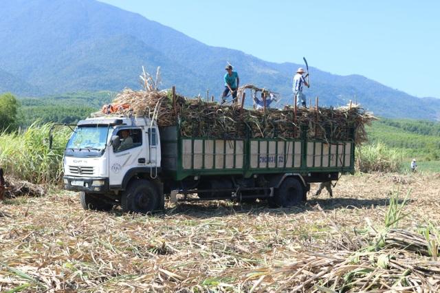 Thủ phủ mía Nam Trung Bộ suy thoái, người trồng tìm cách chạy trốn - 3