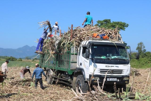 Thủ phủ mía Nam Trung Bộ suy thoái, người trồng tìm cách chạy trốn - 2